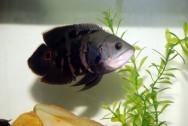 Peixe de água doce Apaiari.