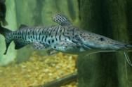 Peixes de água doce do Brasil - Cachara (Pseudoplathystoma fasciatum)