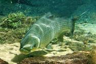 Peixes de água doce do Brasil - Curimbatá (Prochilodus lineatus)