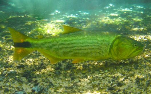 Peixes de água doce do Brasil - Dourado (Salminus maxillosus) Peixe-dourado-cursos-cpt