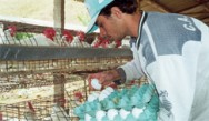 Uma criação bem estruturada, e um manejo alimentar e sanitário adequados resultam em animais saudáveis e produtivos.