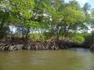 Novo Código Florestal Brasileiro - manguezal, apicuns e restinga nas APPs