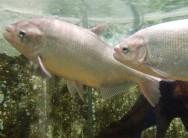 Peixes de água doce do Brasil - Matrinxã (Brycon cephalus)