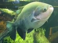 Peixe de água doce Pacu.