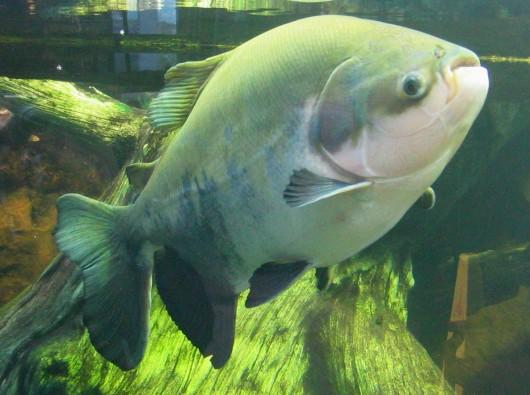 peixes de água doce do brasil pacu piaractus mesopotamicus