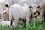 Inseminação artificial em gado de leite - identificação da vaca em cio