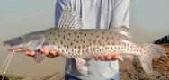 Peixes de água doce do Brasil - Pintado (Pseudoplatystoma corruscans)