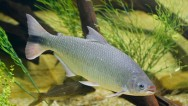 Peixe de água doce Piracanjuba.