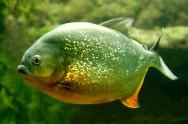 Peixes de água doce do Brasil - Piranha Preta (Serrasalmus rhombeus)