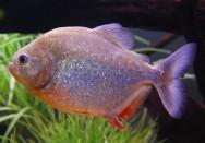 Peixe de água doce Piranha Vermelha.