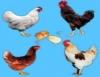 O que saber para selecionar a melhor raça de galinhas poedeiras
