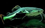 Peixes de água doce do Brasil - Pirarara (Phractocephalus hemeliopterus)