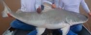 Peixes de água doce do Brasil - Piraíba (Brachyplatystoma filamentosum)