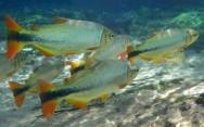 Peixes de água doce do Brasil - Piraputanga (Brycon microlepis)