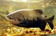Peixes de água doce do Brasil - Tambaqui (Colossoma macropomum)