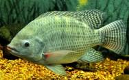 Peixe de água doce Tilápia.