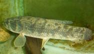 Peixes de água doce do Brasil - Traíra (Hoplias malabaricus)