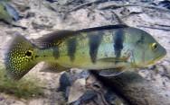 Peixes de água doce do Brasil - Tucunaré (Cichla ocellaris)