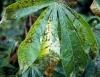 Principais doenças da mandioca