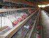 Manejo de aves poedeiras na fase de produção