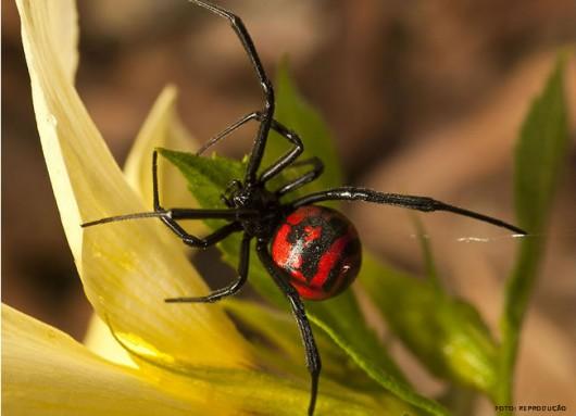 A aranha Viúva-negra é encontrada predominantemente no litoral nordestino