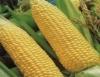 Cultivo de milho é significativo para a agricultura familiar
