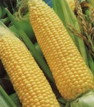 O milho é um dos produtos agrícolas de mais ampla  distribuição mundial, seja na produção, seja no consumo.