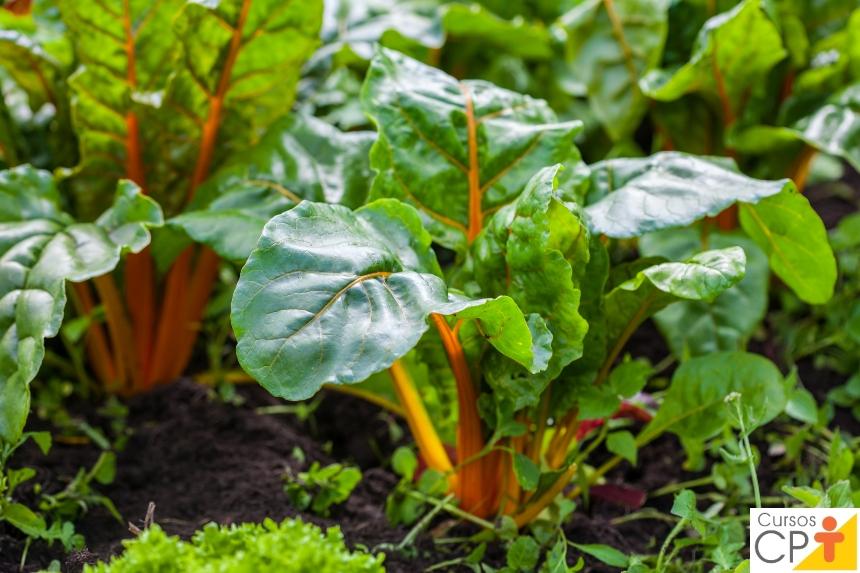 Horta: como plantar Acelga (Beta vulgaris cicla)   Artigos CPT