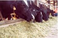 Aprenda Fácil Editora: Alimentação do gado de leite
