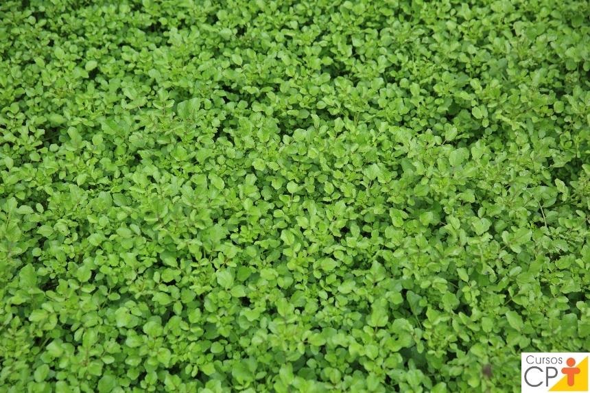 Horta: como plantar Agrião (Nasturtium officinale)   Artigos CPT