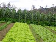 A prática da adubação verde consiste no plantio de espécies vegetais, principalmente leguminosas, em rotação ou consórcio com lavouras.