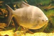 Por meio do aprimoramento das práticas de manejo e de gerenciamento ambiental, a piscicultura poderá associar o produto ao selo verde.
