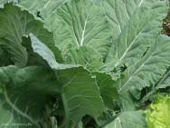 Horta - como plantar Couve (Brassica oleracea)