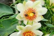 Horta - como plantar Ora-pro-nóbis (Pereskia aculeata Miller)
