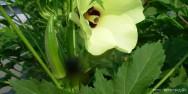 Horta - como plantar Quiabo (Abelmoschus esculentus)