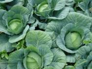 Horta - como plantar Repolho (Brassica oleracea var. Capitata L.)