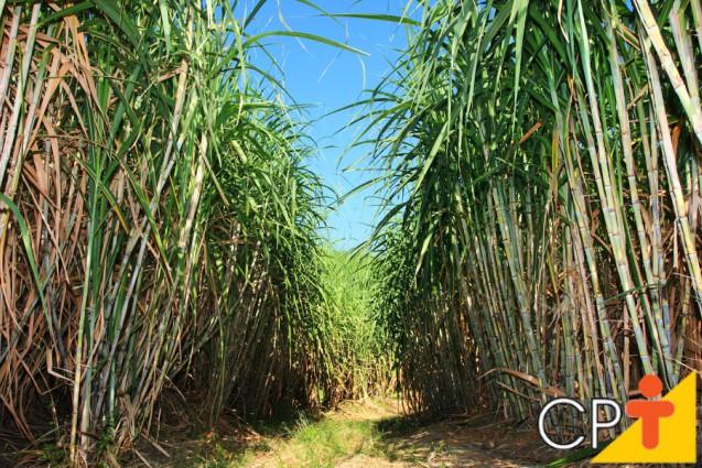 Cana-de-açúcar: espacamento e profundidade para o plantio   Artigos Cursos CPT