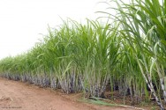 Cana-de-açúcar: espaçamento e profundidade para o plantio