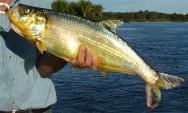 Peixes de água doce do Brasil - Apapá (Pellona castelnaeana)