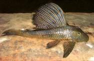 Peixes de água doce do Brasil - Cascudo (Hypostomus affinis)