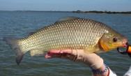 Peixes de água doce do Brasil - Piavuçu (Leporinus macrocephalus)