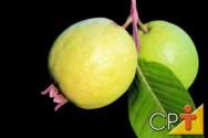 Fruticultura: goiaba