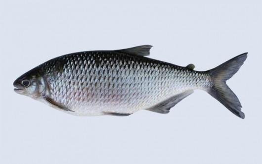 Resultado de imagem para peixe