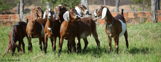Criação Orgânica de Cabras - benefícios da homeopatia no tratamento da criação