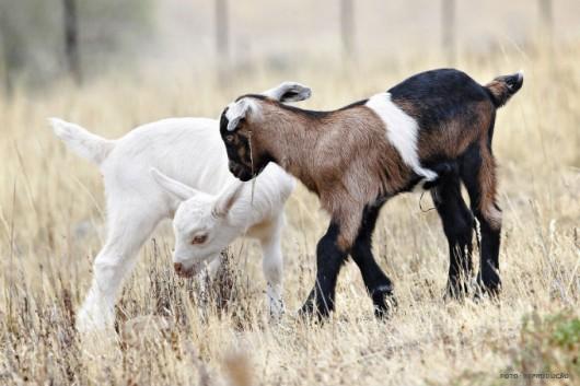 Criação Orgânica de Cabras - verminoses intestinais e seu controle