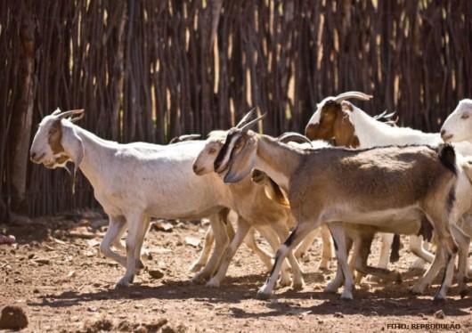 Criação Orgânica de Cabras Leiteiras- resistência aos anti-helmínticos