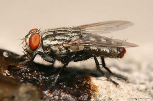 Criação Orgânica de Cabras - moscas domésticas