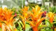 Cultivo de Bromélias - propagação por mudas