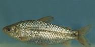 Peixe de água doce Saguiru.