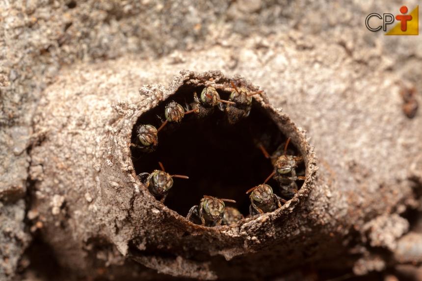 Abelhas sem ferrão - Iraí (Nannotrigona testaceicornes)   Artigos CPT